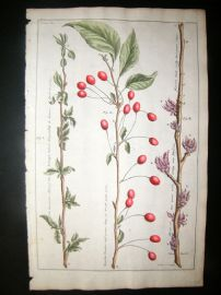 Langley 1729 Folio Hand Col Botanical Print. Quince, Cherries Trees, Fruit 6
